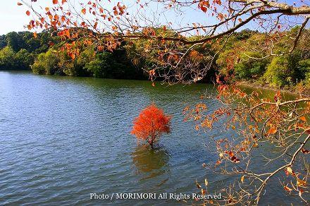 平和台公園 黄葉