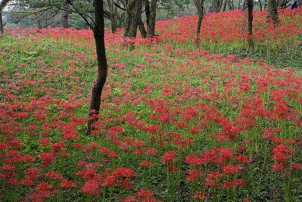 皇子原公園の古墳に咲く彼岸花