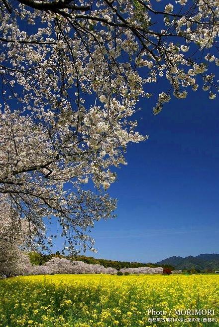 宮崎の桜の名所 西都原の桜と菜の花 西都市