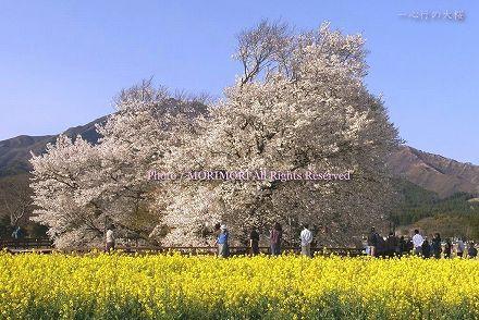 一心行の一本桜(一心行の大桜) 熊本県