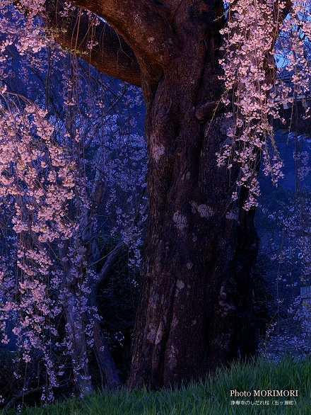 浄専寺のしだれ桜 夜桜アップ