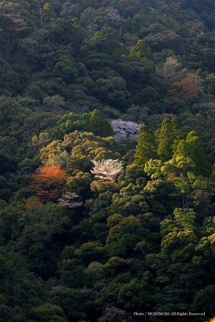 綾町 照葉樹とヤマザクラ