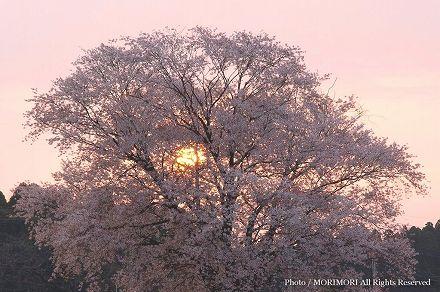 大坪の一本桜 2009年 朝日をバックに