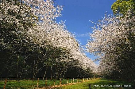 宮崎神宮 流鏑馬馬場の桜の回廊