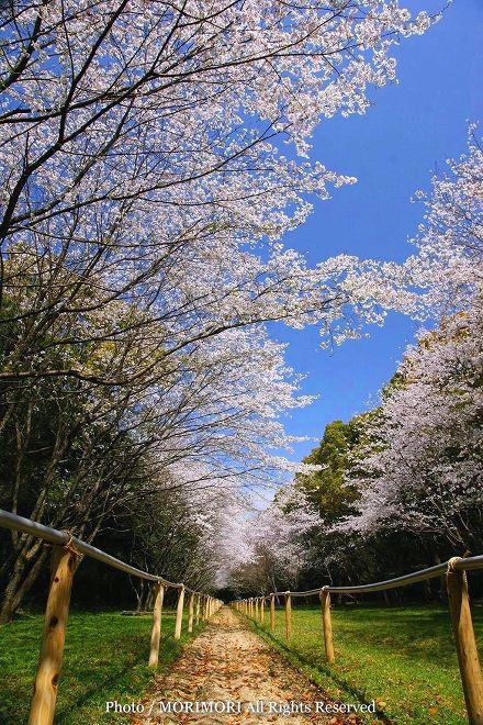 宮崎神宮 流鏑馬馬場の桜の回廊 2