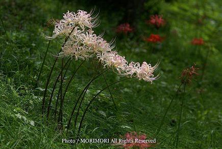 萩の茶屋に咲いていた白い彼岸花